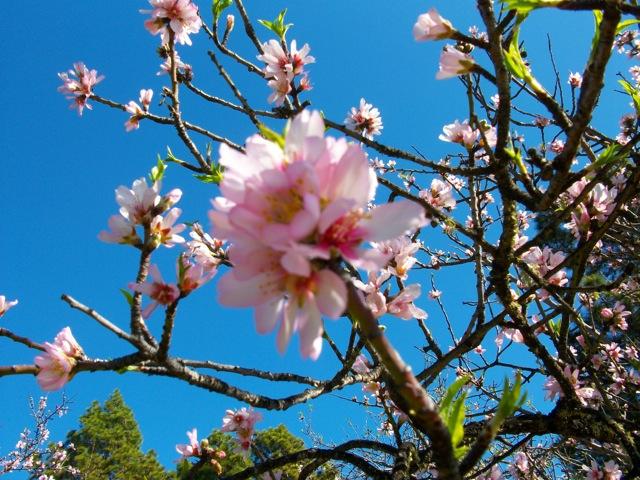 Mandelblüte auf der Finca Garome