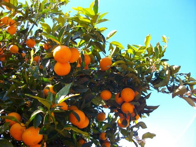 Orangen vor der Terrasse zum Ernten