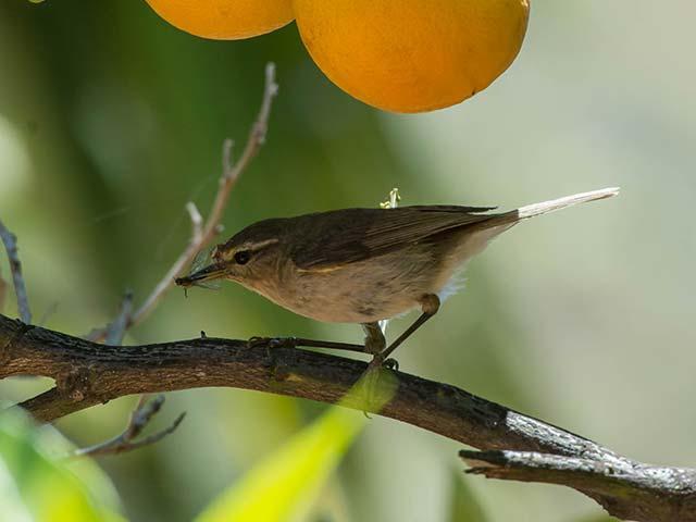 Vogel im Orangenbaum